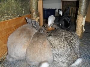 Kaninchen alleine halten? Never!