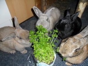 Petersilie - eine Leibspeise von Kaninchen