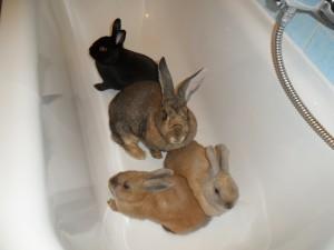 Kaninchen aneinander gewöhnen