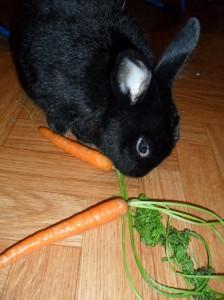 Zwergkaninchen frisst Karotte