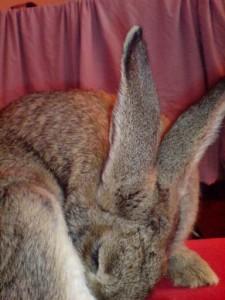 Blinddarmkot fressendes Kaninchen