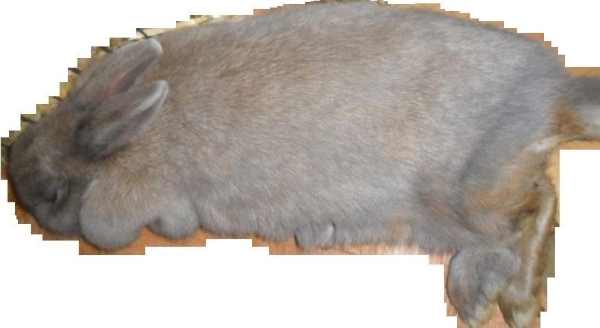Wenn sie entspannt und zufrieden sind, werfen sich Kaninchen gern zur Seite.
